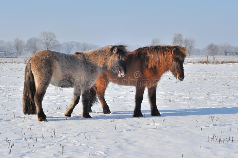 Download Islandic Horses Stock Photos - Image: 28895413