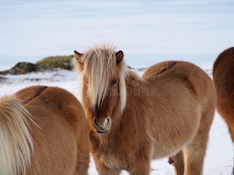 Islandzcy konie obrazy royalty free