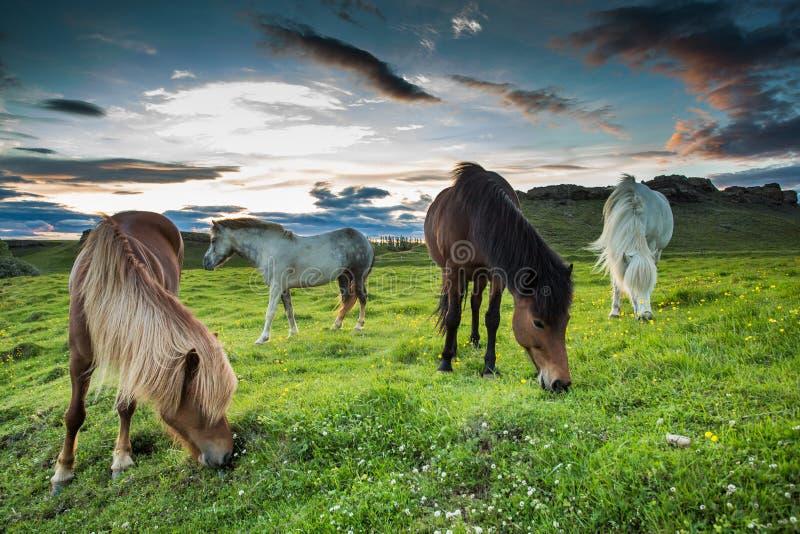 Islandzcy konie fotografia royalty free