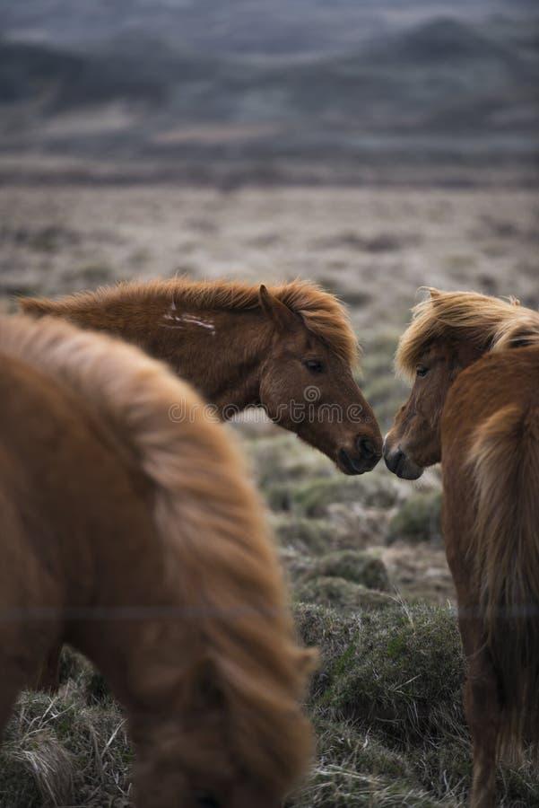 Islandzcy konie całują obrazy royalty free