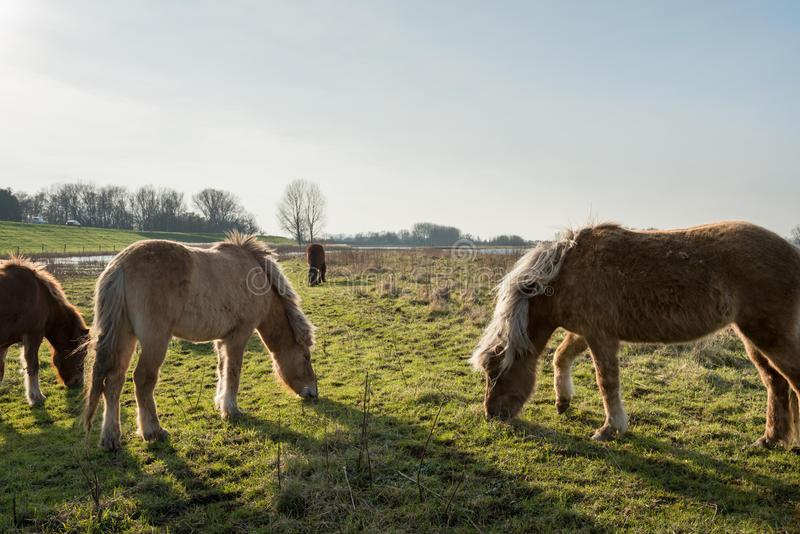 Islandzcy konie pasa w Holenderskim rezerwacie przyrody zdjęcia royalty free