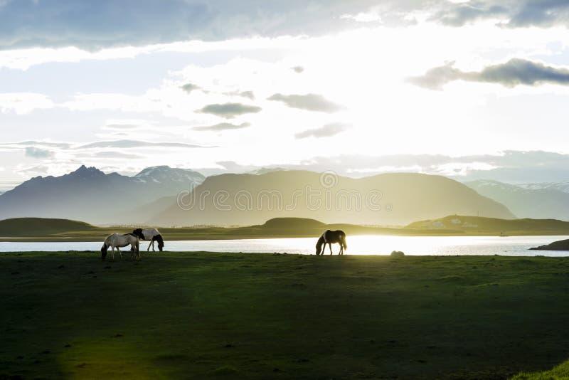 Islandzcy konie przeciw lato nocy krajobrazowi fotografia stock