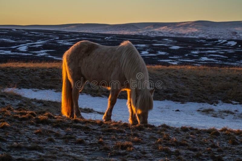 Islandzcy konie w zimie, Północny Iceland obrazy stock