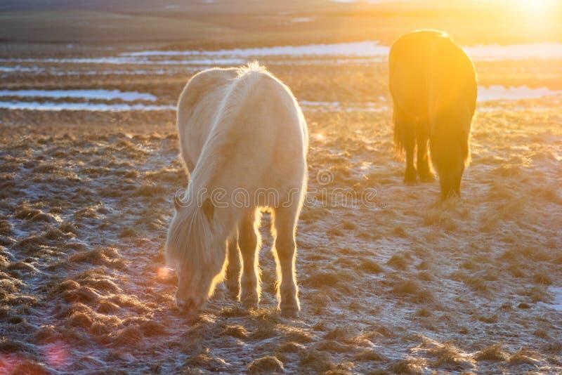 Islandzcy konie w zimie, Północny Iceland zdjęcie stock
