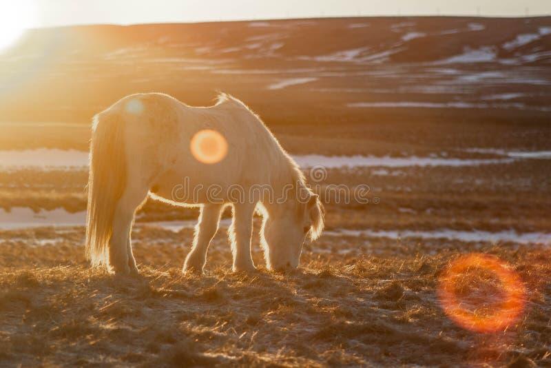 Islandzcy konie w zimie, Północny Iceland obraz royalty free