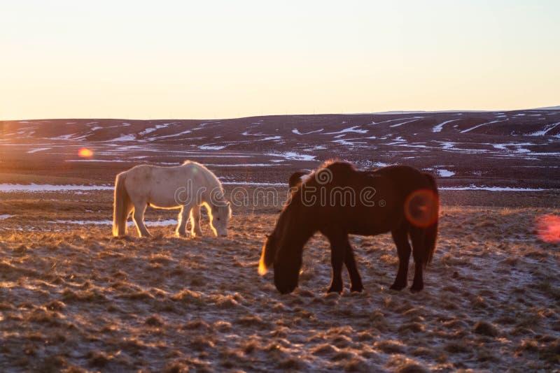 Islandzcy konie w zimie, Północny Iceland fotografia royalty free