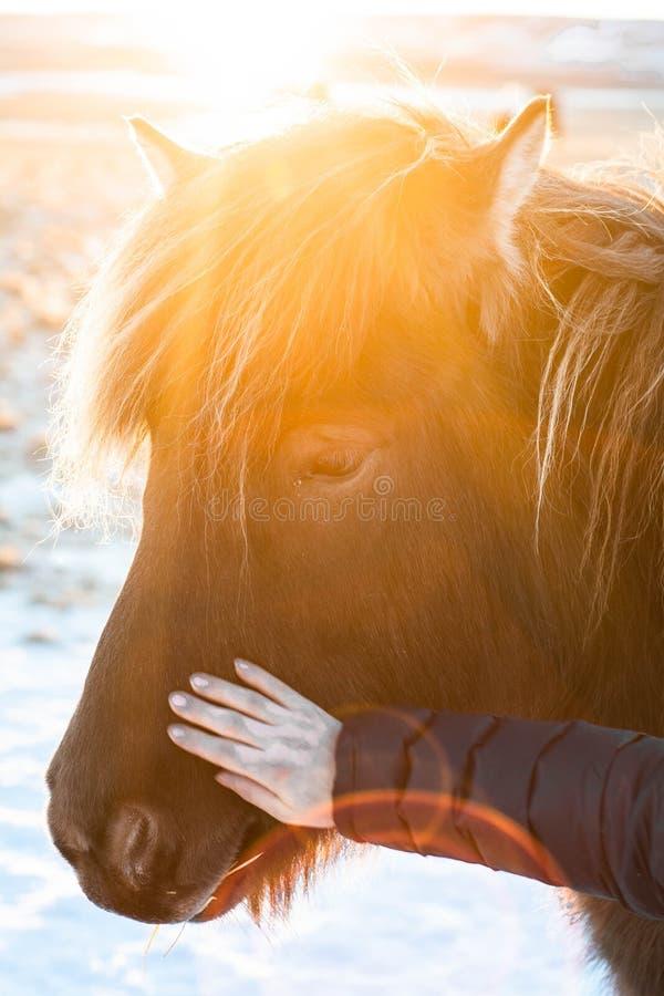 Islandzcy konie w zimie, Północny Iceland zdjęcia royalty free
