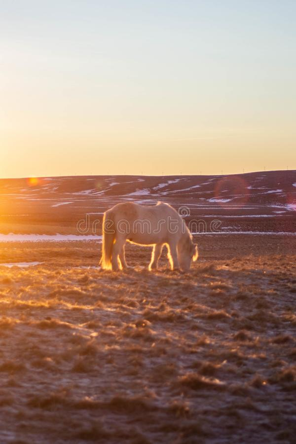 Islandzcy konie w zimie, Północny Iceland obraz stock