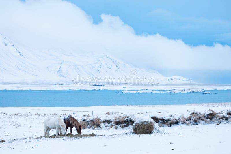 Islandzcy konie w zimie wypasają z śniegiem, Iceland zdjęcia royalty free