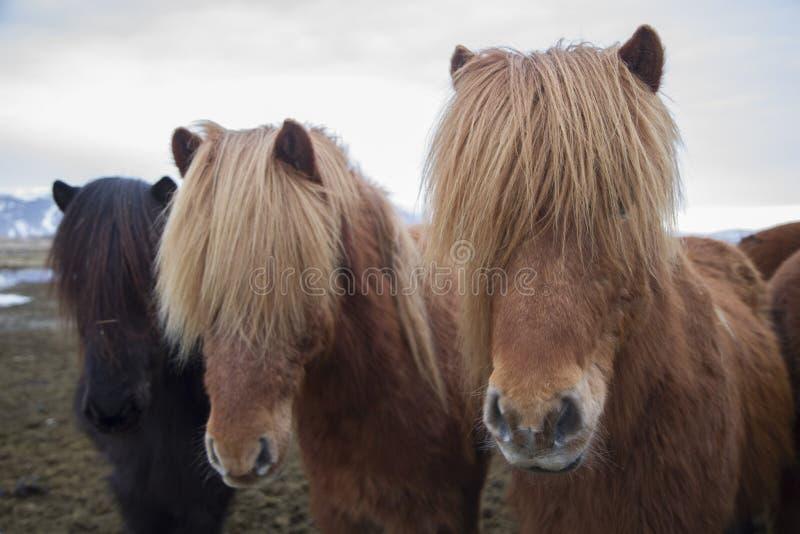 Islandzcy konie z oczami zakrywającymi włosy w Iceland wczesny Spri obraz royalty free