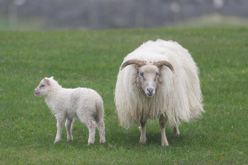 Islandzki barani Ãslenska sauðkindin fotografia stock