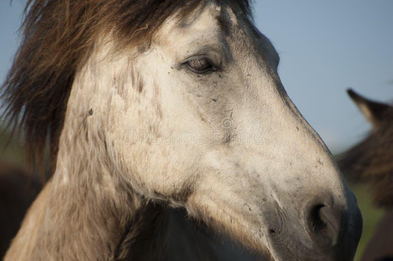 Islandzki biały koń obrazy royalty free