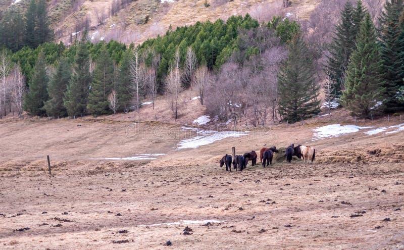 Islandzki czarny koń w Iceland gospodarstwie rolnym zdjęcia stock