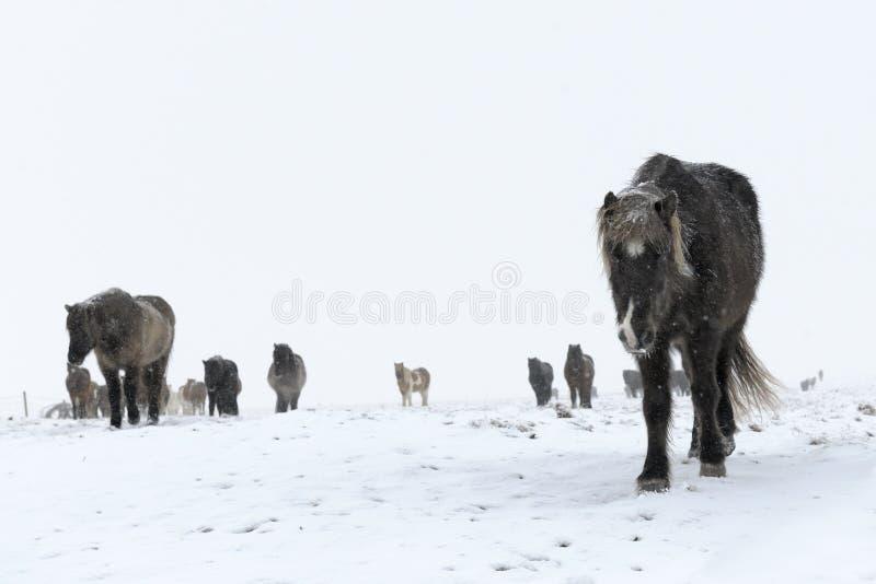Islandzki koń zdjęcia stock