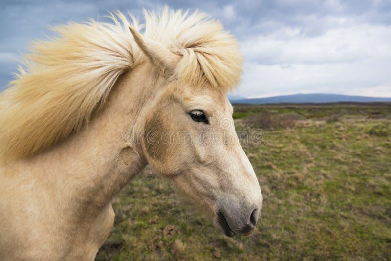 Islandzki koń na łące, Iceland zdjęcia stock