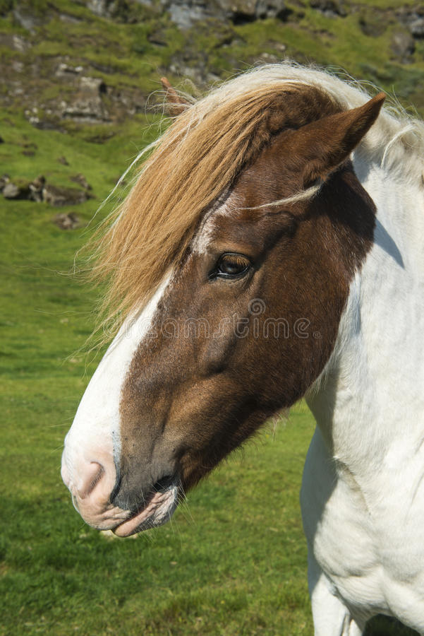 Islandzki koń na naturalnym tle fotografia royalty free