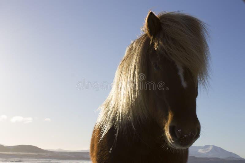Islandzki koń na słonecznym dniu zdjęcia royalty free