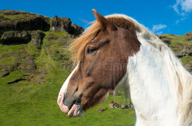 Islandzki koń na zielonej łące, Iceland zdjęcie royalty free
