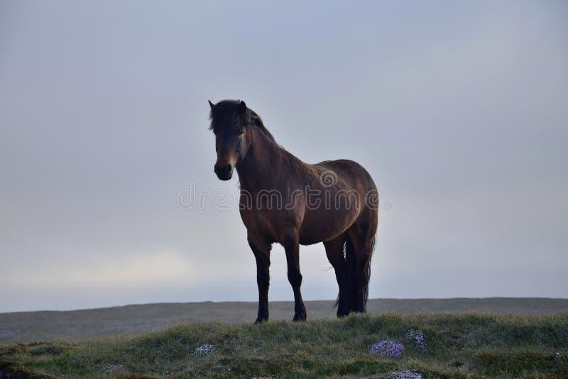 Islandzki koń w wieczór świetle zatoka fotografia royalty free