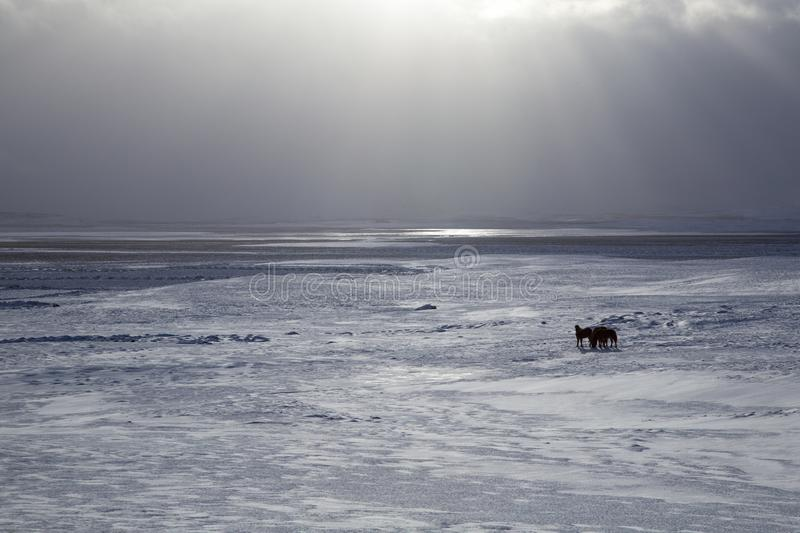 Islandzki koński śnieg zdjęcia royalty free