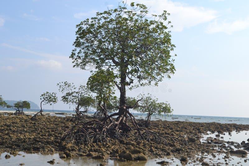 Islas Andaman y Nicobar Un solitario árbol de mangle imágenes de archivo libres de regalías