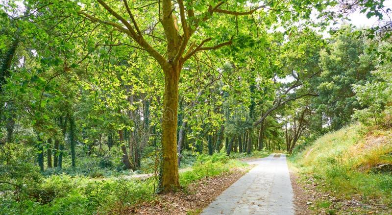 Islas Cies wyspy lasowe blisko Vigo Galicia Hiszpania zdjęcie royalty free