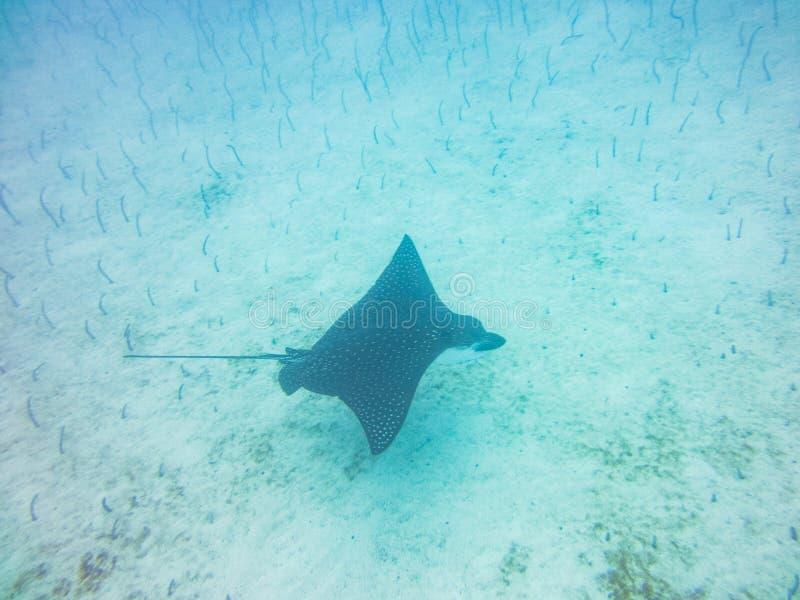 Islas de las Islas Galápagos subacuáticas negras del rayo de Manta que se zambullen Ecuador foto de archivo