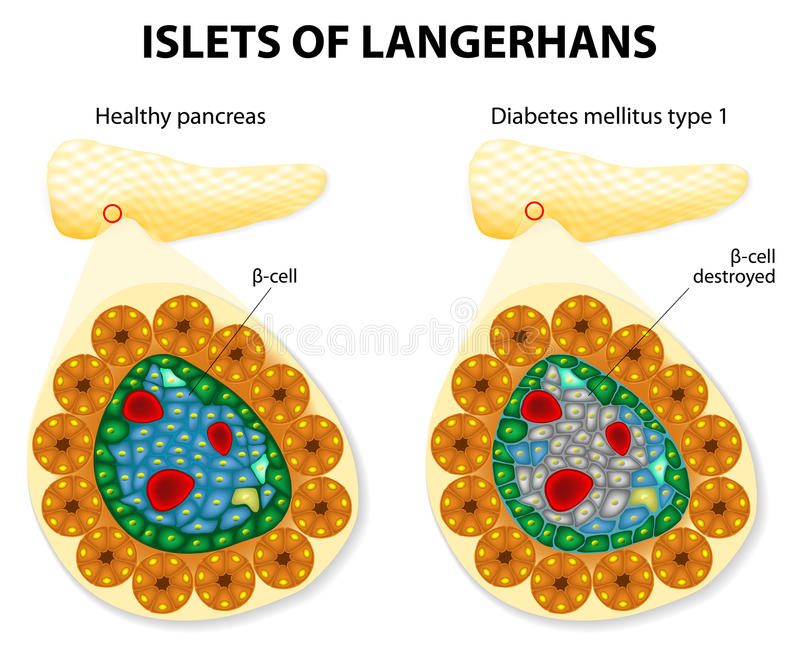 Islets of Langerhans vector illustration