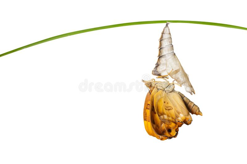 Islolated male of brown prince butterfly emerged from chrysalis. Islolated male of brown prince butterfly Rohana parisatis emerged from chrysalis on white with stock photos