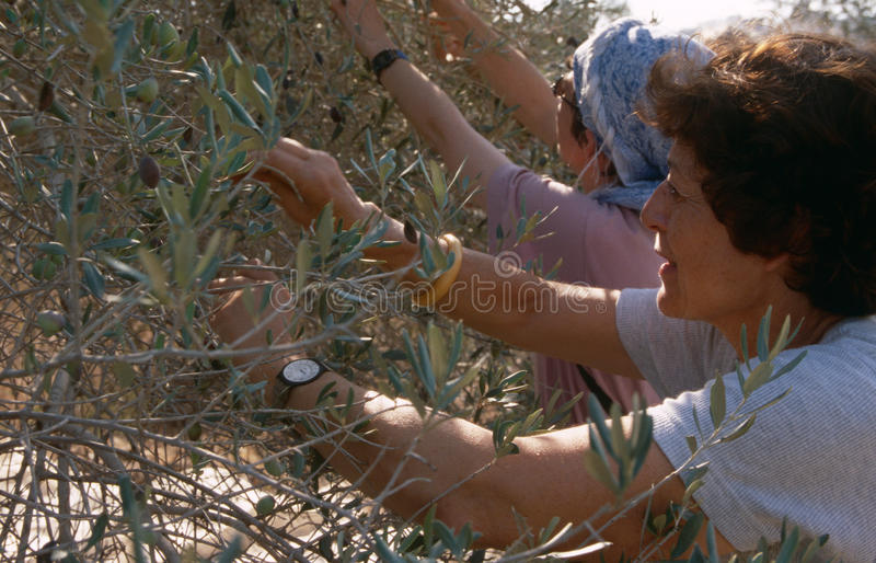 ISM volunteers in an olive grove, Palestine. ISM volunteers working at an olive grove in Palestine royalty free stock photo