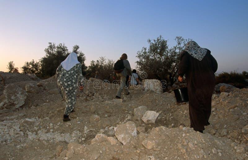 ISMvolontärer och palestinska arbetare i en olivgrön dunge, Palestina. royaltyfri foto