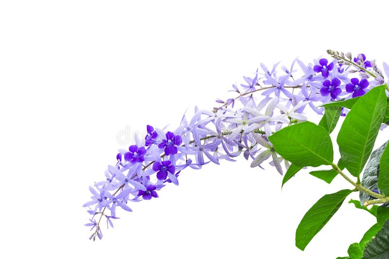 Isoalted purple sandpaper vine flower with theirs tree on white. Isolated purple sandpaper vine flower with theirs tree on white , Petrea volubilis with clipping royalty free stock photography