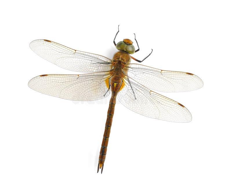 Isoceles Aeshna Dragonfly (мужчина) стоковые изображения rf