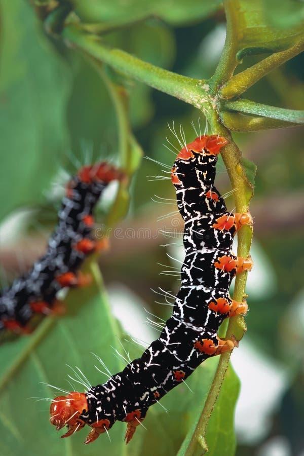 Isognathus Caricae Caterpillar stock fotografie