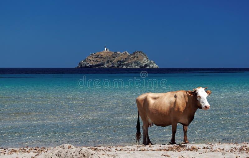 Isola corsa di giraglia e della mucca fotografia stock libera da diritti