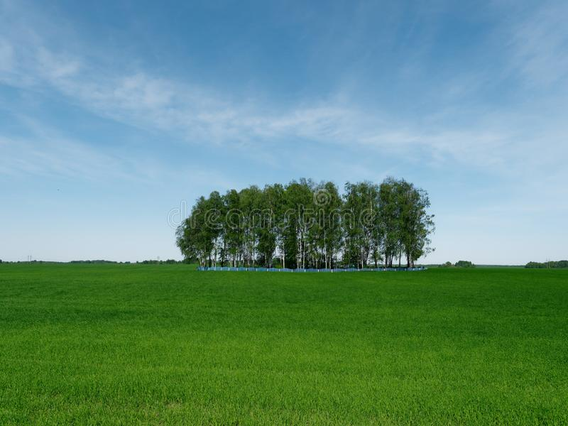 Isola del boschetto della betulla su un campo verde immagini stock