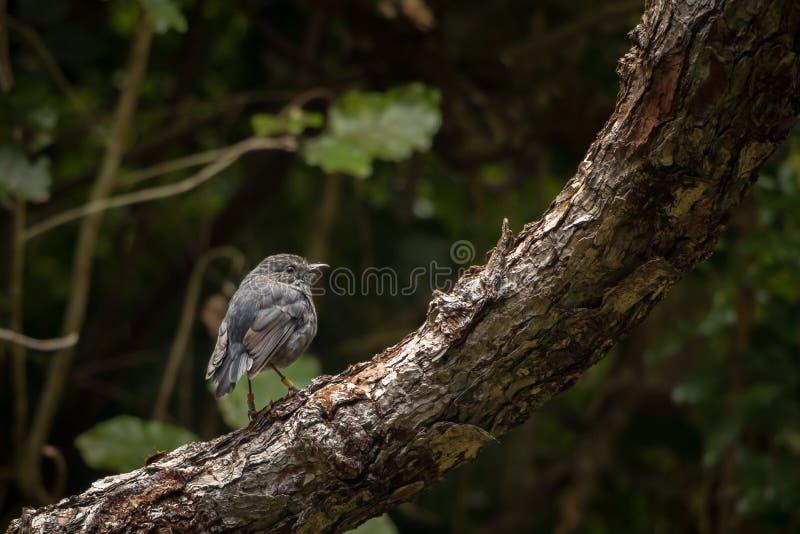 Isola del nord Robin Sits In Pine Tree della Nuova Zelanda fotografia stock libera da diritti