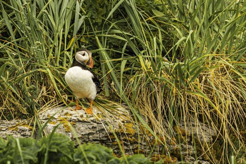 Isola della pulcinella di mare e di Razorbill dei pappagalli fotografia stock libera da diritti