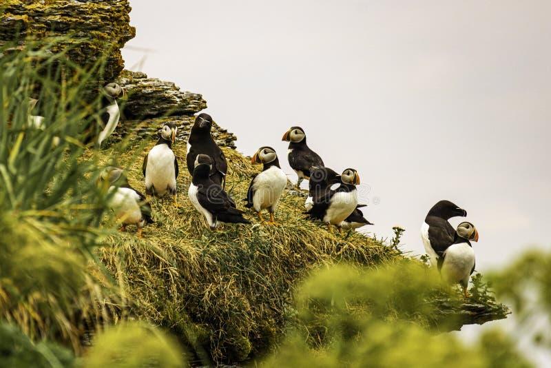 Isola della pulcinella di mare e di Razorbill dei pappagalli fotografie stock libere da diritti