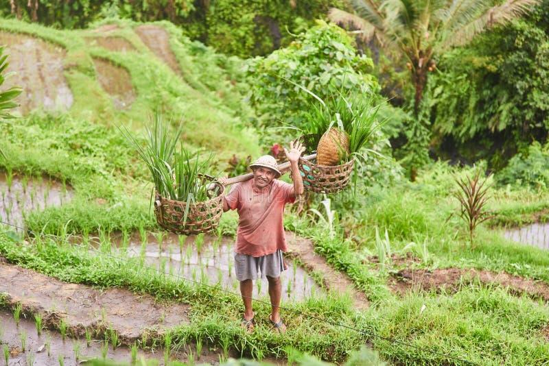 ISOLA DI BALI - INDONESIA 11 03 2019: Agricoltore del riso che ondeggia la sua mano Terrazzo del riso di Tegalalang fotografie stock