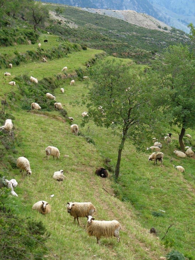 Isola di Crete - pecore e capre al pascolo fotografia stock libera da diritti
