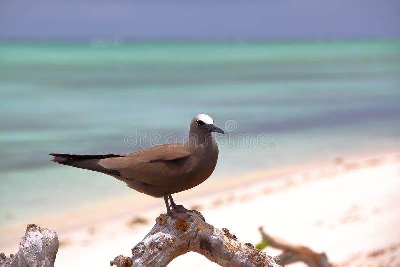 ISOLA DI RODRIGUES, MAURITIUS: Noddy Anous Stolidus di Brown all'isola di Cocos immagini stock