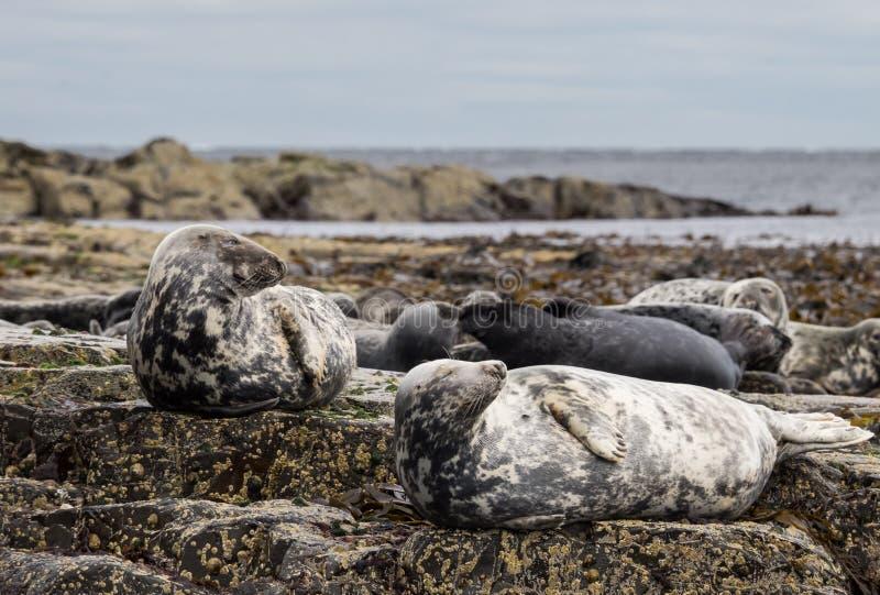 Isola Grey Seals di Farne immagine stock