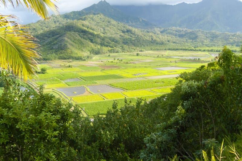 Isola hawaiana Hawai Stati Uniti di kawaii di panorama delle risaie immagine stock