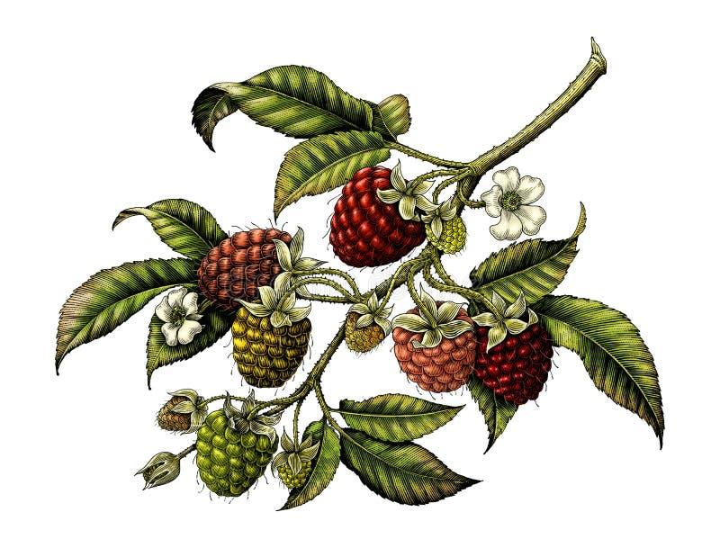 Isolado botânico do clipart da ilustração do vintage do ramo da framboesa ilustração do vetor