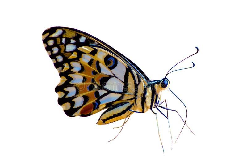 Isolado branco amarelo alaranjado do fundo dos pontos da borboleta foto de stock