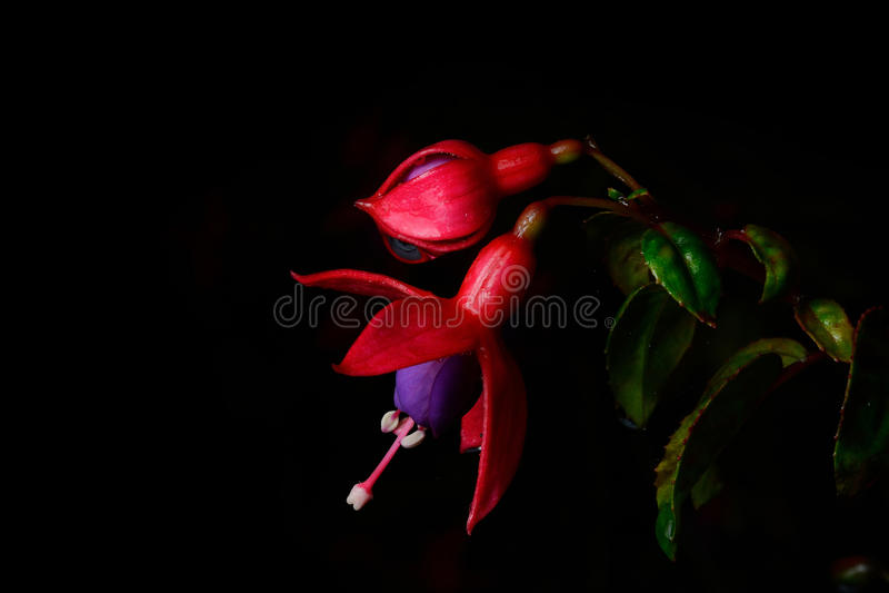 Isolado cor-de-rosa bonito da flor (fúcsia) no fundo preto imagem de stock royalty free