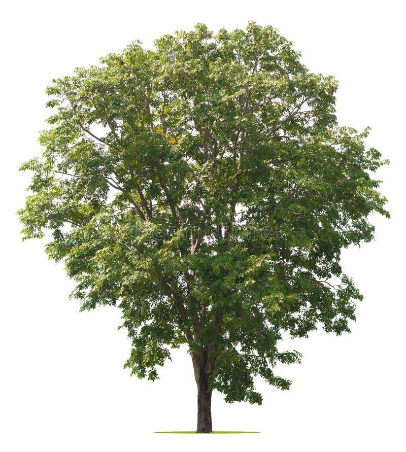 Isolado da árvore no branco imagens de stock royalty free
