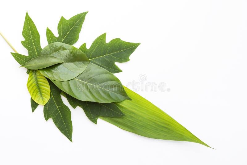 Isolado das folhas do verde no fundo branco imagem de stock