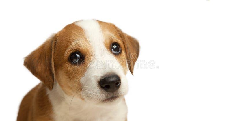 Isolado de defesa triste do olhar do cachorrinho de Jack Russell Terrier no branco imagem de stock royalty free